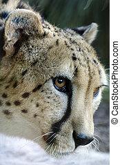 tiere, tierwelt, -, gepard