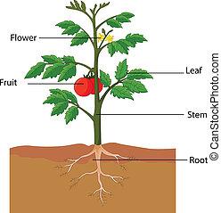 tomatenpflanze, zubehörteil, ausstellung