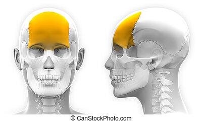 totenschädel, frontal, -, freigestellt, koerperbau, weibliche , weißes, knochen