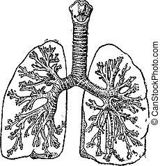 Trachea oder Luftröhre, alte Gravur.