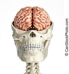 transversal, totenschädel, abschnitt, kreuz, brain., menschliche