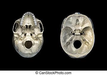 transversal, totenschädel, boden, querschnitt, menschliche , ansicht.