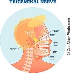 Trigeminalnerv anatomische Vektorgrafik mit menschlichem Kopfkreuz.