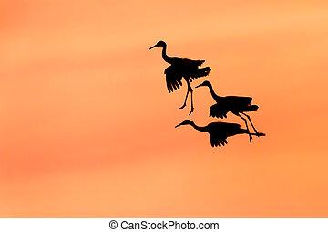 Trio von Sandhill Cranes bereit, bei Sonnenuntergang zu landen.