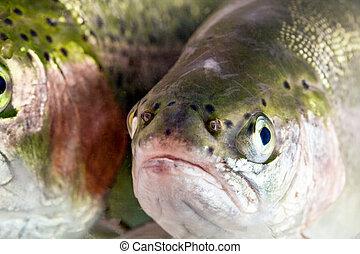 Troutfisch in der Nähe.
