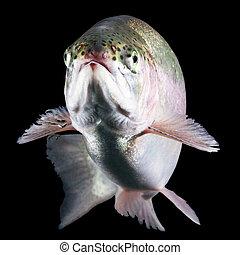 Troutfisch isoliert.