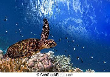 turtle, maldivian, schwimmend, meer