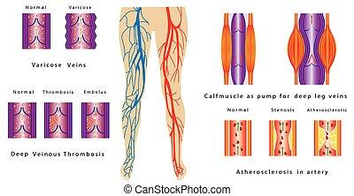 Vaskuläre System Beine