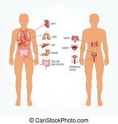 Vector Man Anatomie Illustration.