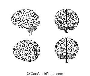 Vector skizziert das menschliche Gehirn.