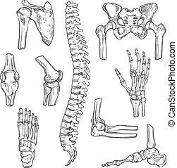 Vector Zeichnen von menschlichen Körperknochen und Gelenken