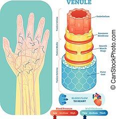 Venule anatomische Vektorgrafik Querschnitt. Kreislaufsystem Blutgefäßdiagramm auf menschlicher Hand Silhouette. Medizinische Informationen.