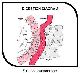 Verdauungsdiagramm des Bauchgewebes.