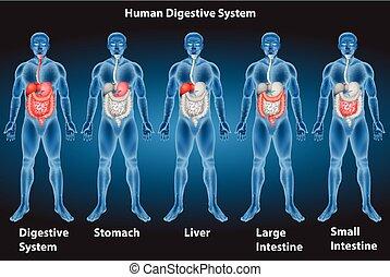 Verdauungssystem.