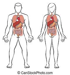 Verdauungstrakte innere Organe Mann Frau Paar.
