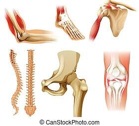 Verschiedene menschliche Knochen.