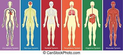 Verschiedene Systeme des menschlichen Körperdiagramms.
