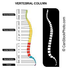 Vertebral Spalte spine Anatomiediagramm.