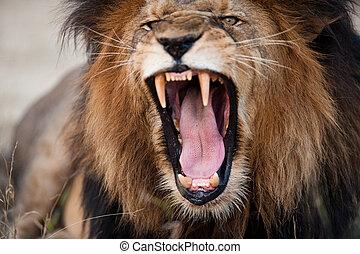 Wütend brüllender Löwe
