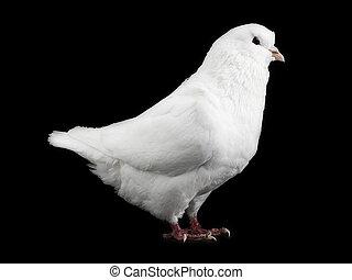 Weiße Taube isoliert auf einem Schwarzen.