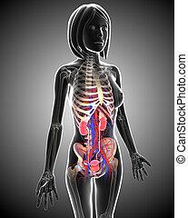 Weibliche Harnsystem-Anatomie.