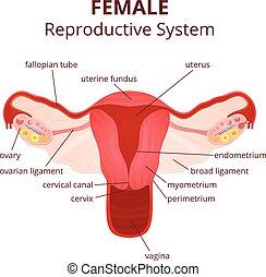 Weibliches Fortpflanzungssystem.