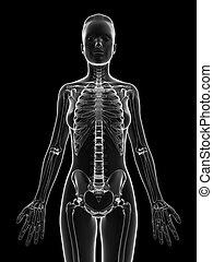 Weibliches Skelett - Oberkörper.