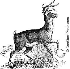 Whitetail oder Virginia Hirschkneipen