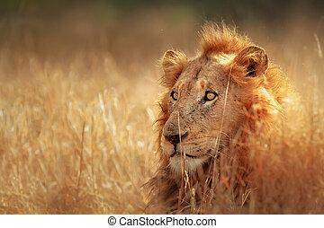 wiese, löwe