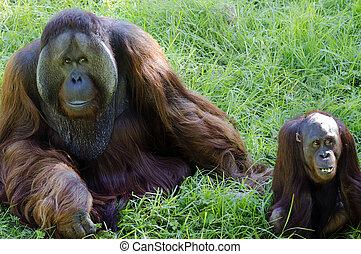 Wildtiere und Tiere - Orang-Utan