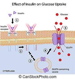 Wirkung von Insulin bei Glukosezufuhr.