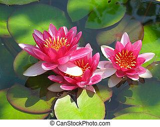 Wunderschöne, blühende rote Wasserblume mit grünen Blättern im Teich
