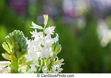 Wunderschöne weiße, duftende Frühlingsblüte mit buntgrünem Hintergrund.