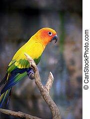 Wunderschöner Sonnen-Parakeet-Vogel, der auf einem Ast durchdringt.