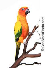 Wunderschöner Sonnenschutzvogel auf einem Ast.