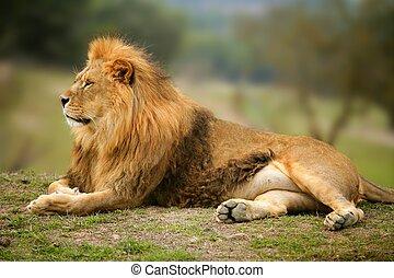 Wunderschönes Löwen-wildes männliches Tierbild