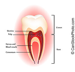 Zähne Anatomie