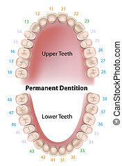 Zahnnotation dauerhafte Zähne.