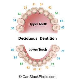 Zahnnotation Milchzähne.