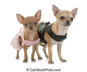 Zwei gekleidete Chihuahuas.