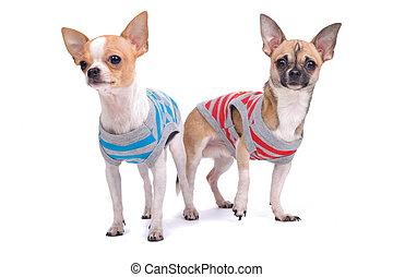Zwei spielerische Chihuahua Hunde