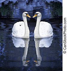 Zwei weiße Schwäne