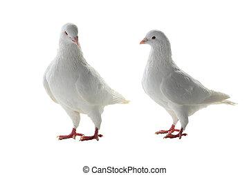 Zwei weiße Taube.